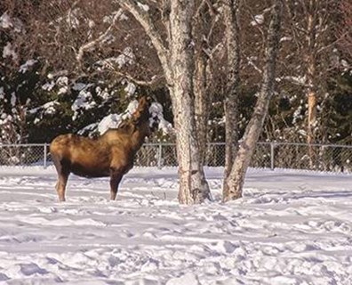A moose checks out Alaska's national champion Kenai birch, fittingly found in Kenai. The tree was nominated and measured by a group of fourth, fifth and sixth grade students at the Kaleidoscope School of Arts & Sciences. Photo: Don Bertolette