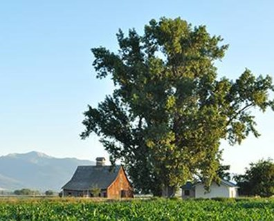 The national champion plains cottonwood tree stands tall in Ravalli, Montana.