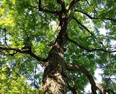 Henri-Gustave Joly's prized black walnut population at Domaine Joly-De Lotbinière is the oldest and northernmost plantation of such a valuable deciduous tree in North America.
