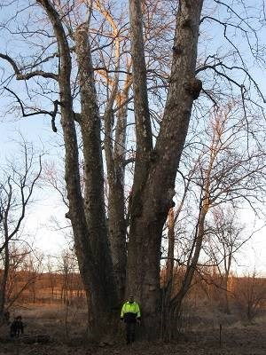 Bruzda stands beside the eastern sycamore he measured in Jeromesville, Ohio. Eastern sycamores, which also prosper in certain areas of Asia, don't often grow as large as the one Bruzda had the privilege to encounter, which measures 124 feet high and 432 inches DBH.