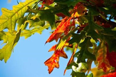 Four pigments, chlorophyll, carotenoids, anthocyanins and tannins, cause leaves to change color throughout the year.