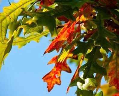 Featured image for On the Lookout for Fall Foliage ... and Healthy Trees