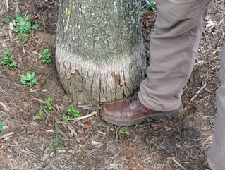The lack of roots flaring out from the trunk indicates this tree was planted too deep. The bleached line indicates the soil/mulch surface, which was at least 4 inches above the root flare.