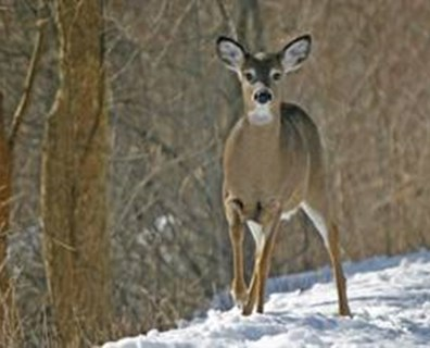 Trees affected by deer browsing are vulnerable to frost damage, weakened branches and insects and disease, but there are techniques you can use to manage browsing and reduce damage to your plants.