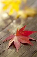 Featured image for Peace, Love and Japanese Maples