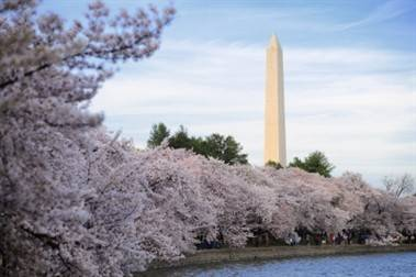 cherrytrees with Washington Monument