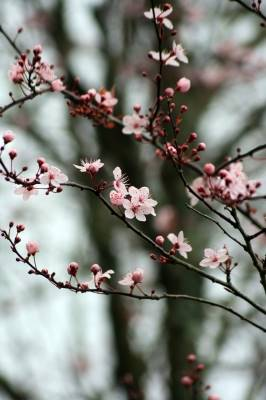 cherry blossoms branches