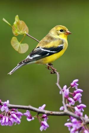 American Goldfinch in SpringWEB
