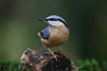 Red-breasted NuthatchWEB