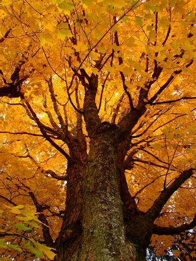 sugar maple in fall - WEB