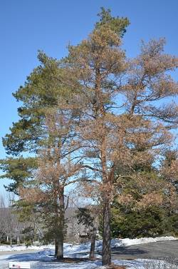Dying Scots Pine
