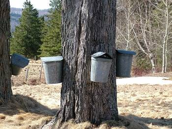 several maple tree taps on one tree