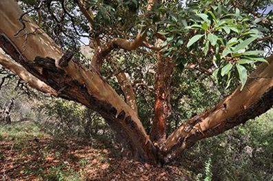 Believed to be thousands of years old, the Texas madrone national champion tree has quite an impressive story to tell.