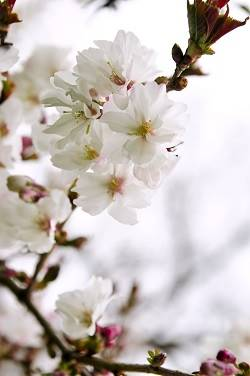 white tree blossoms