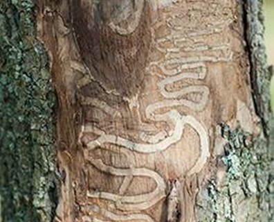 Do you know the signs of an emerald ash borer (EAB) infestation? The galleries pictured above indicate EAB damage to the trunk of an ash tree.