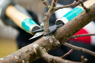 Your trees shouldn't be ignored in winter. Dormant pruning has its benefits!
