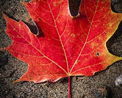 Featured image for A Day in the Life of a Red Maple Leaf