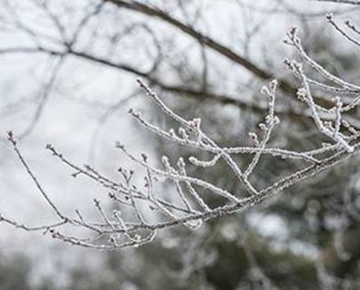 Snow and ice that packs onto tree branches can lead to stress and potential damage, but taking action before and after snowfall can help maintain tree health.