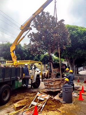 Davey crewmembers remove a tree. Pictured: Foreman Luis Gomez-Valdez (left), Trimmers  Alfonso Arroyo-Becerra (bottom right) and Fernando Argueta (middle right) and Foreman Ruben Yupit (top right).  | All photos credit: Nick Crawford