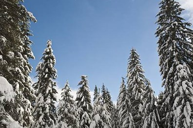 What does it take to withstand winter's wrath? Douglas fir trees are particularly versatile and able to grow in the utmost northern U.S. and into Canada.