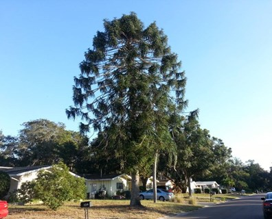 Davey Resource Group inventoried several trees for the Largo, Florida tree inventory--a project that ultimately helped the city develop a systematic tree care plan.