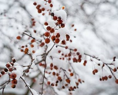 Go berry crazy with the trees you decide to plant in your backyard for winter color!