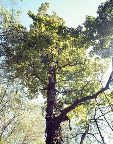 This American Forests champion tree is one of 10 Kentucky champion trees and stands 139 feet tall.
