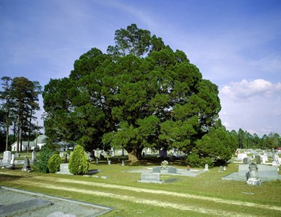 As the sun sweeps across the sky, Georgia's national champion eastern redcedar delicately shades headstones in Coffee County's Lone Hill Cemetery.