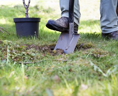 Before you begin transplanting your tree, know how to apply the proper prep work to help the tree survive in its new location.