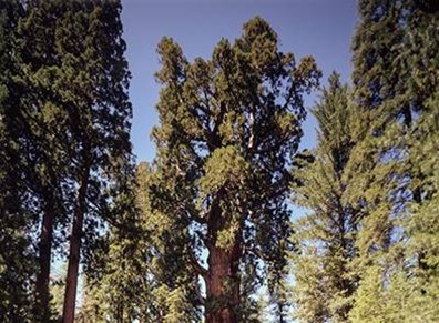 Just the top half of Sequoia National Park's champion tree, General Sherman.