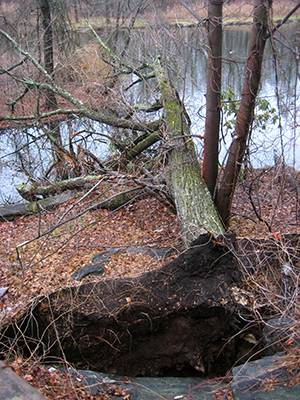 fallen tree in Halsey Pond Park