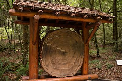 Muir Woods tree rings