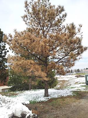 drought-stressed Colorado pine