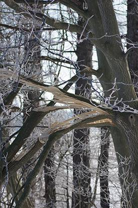 winter tree damage