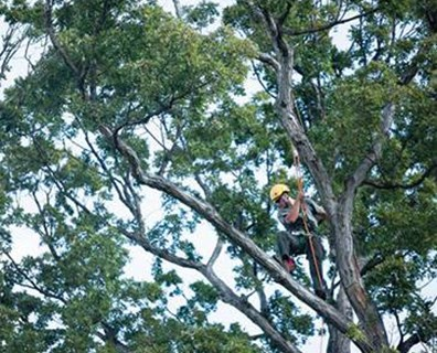 Climber Jesse Tillack installs lightning protection to a white oak at Arlington National Cemetery. Photo courtesy of army.mil.