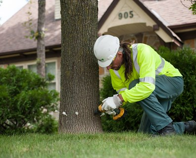 """Large ash trees provide so many benefits--so it's important to try to save them instead of remove them,"" Greg Wilson, district manager of Davey's West St. Louis residential tree care services."