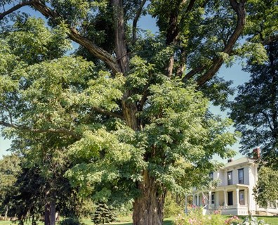 The champion black locust tree standing in the front yard at a residence in the Finger Lakes wine country.