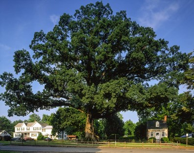 Maryland's former state tree, the regal white oak of Wye Oak State Park; once a national champion until storm damage killed it in 2002.